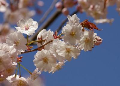 Bloggioujigijozakura140407